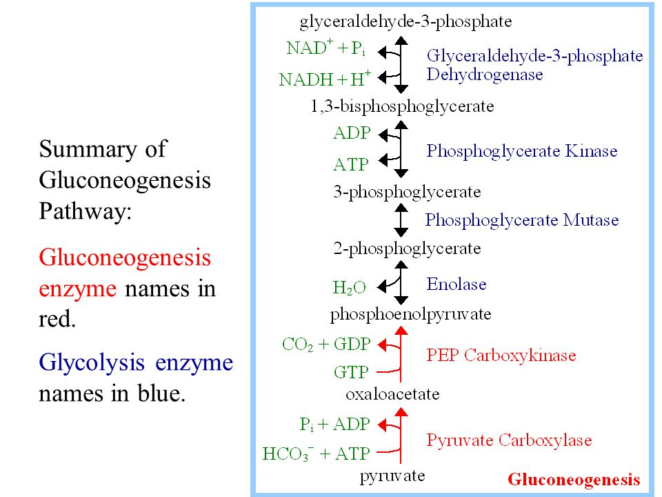 Summary of Gluconeogenesis Pathway: Gluconeogenesis enzyme names in red. Glycolysis enzyme names in blue.