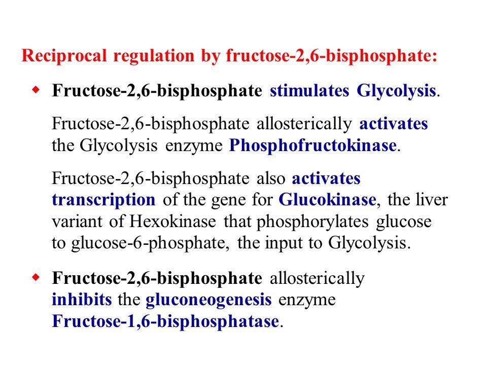 Reciprocal regulation by fructose-2,6-bisphosphate:  Fructose-2,6-bisphosphate stimulates Glycolysis.