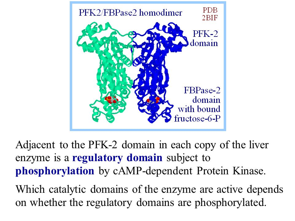 Adjacent to the PFK-2 domain in each copy of the liver enzyme is a regulatory domain subject to phosphorylation by cAMP-dependent Protein Kinase.