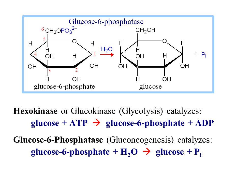 Hexokinase or Glucokinase (Glycolysis) catalyzes: glucose + ATP  glucose-6-phosphate + ADP Glucose-6-Phosphatase (Gluconeogenesis) catalyzes: glucose-6-phosphate + H 2 O  glucose + P i