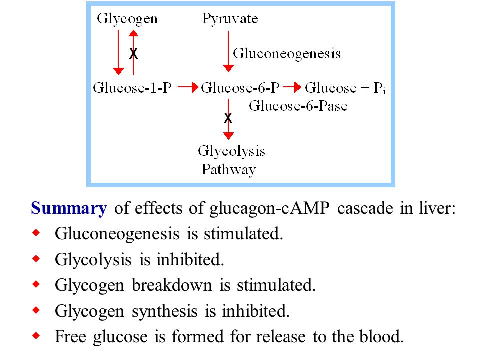 Summary of effects of glucagon-cAMP cascade in liver:  Gluconeogenesis is stimulated.  Glycolysis is inhibited.  Glycogen breakdown is stimulated.