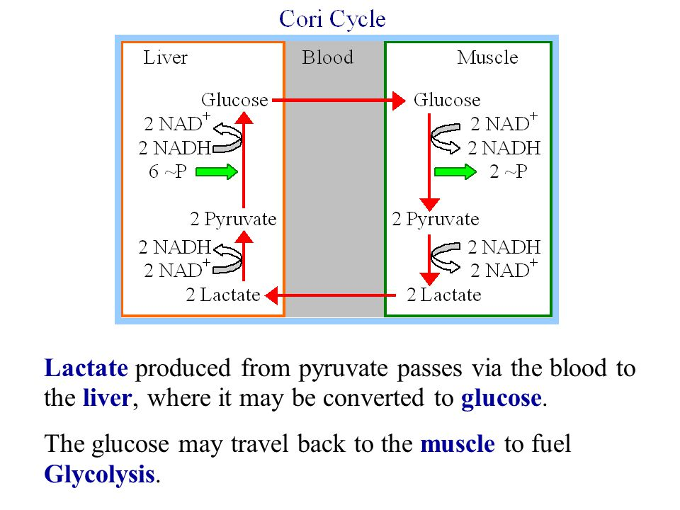 Lactate produced from pyruvate passes via the blood to the liver, where it may be converted to glucose. The glucose may travel back to the muscle to f