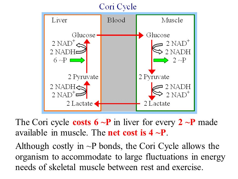 The Cori cycle costs 6 ~P in liver for every 2 ~P made available in muscle. The net cost is 4 ~P. Although costly in ~P bonds, the Cori Cycle allows t