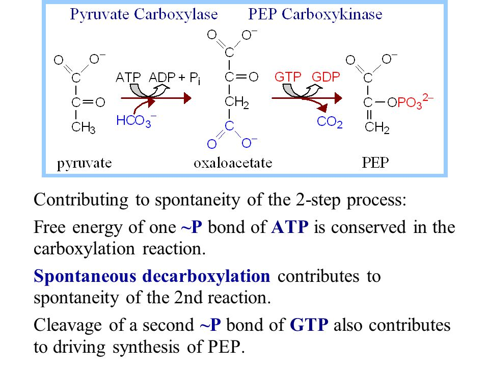 Contributing to spontaneity of the 2-step process: Free energy of one ~P bond of ATP is conserved in the carboxylation reaction. Spontaneous decarboxy