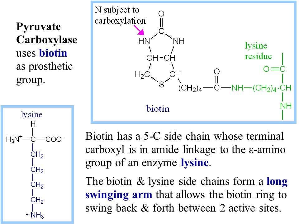 Biotin has a 5-C side chain whose terminal carboxyl is in amide linkage to the  -amino group of an enzyme lysine.