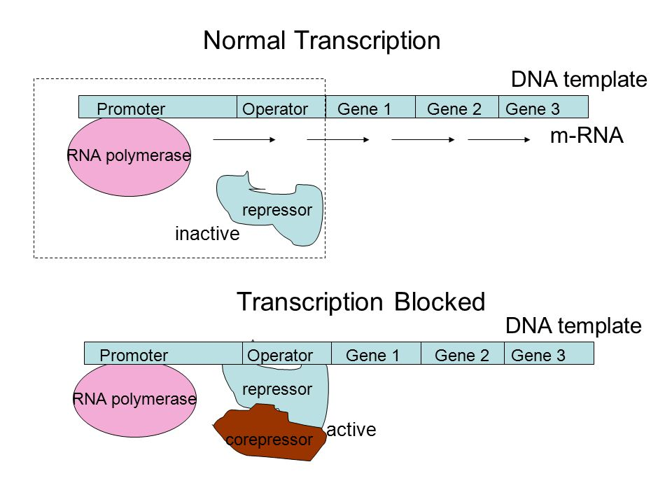 m-RNA RNA polymerase repressor PromoterOperatorGene 1Gene 2Gene 3 Normal Transcription RNA polymerase repressor PromoterOperatorGene 1Gene 2Gene 3 corepressor Transcription Blocked DNA template inactive active DNA template