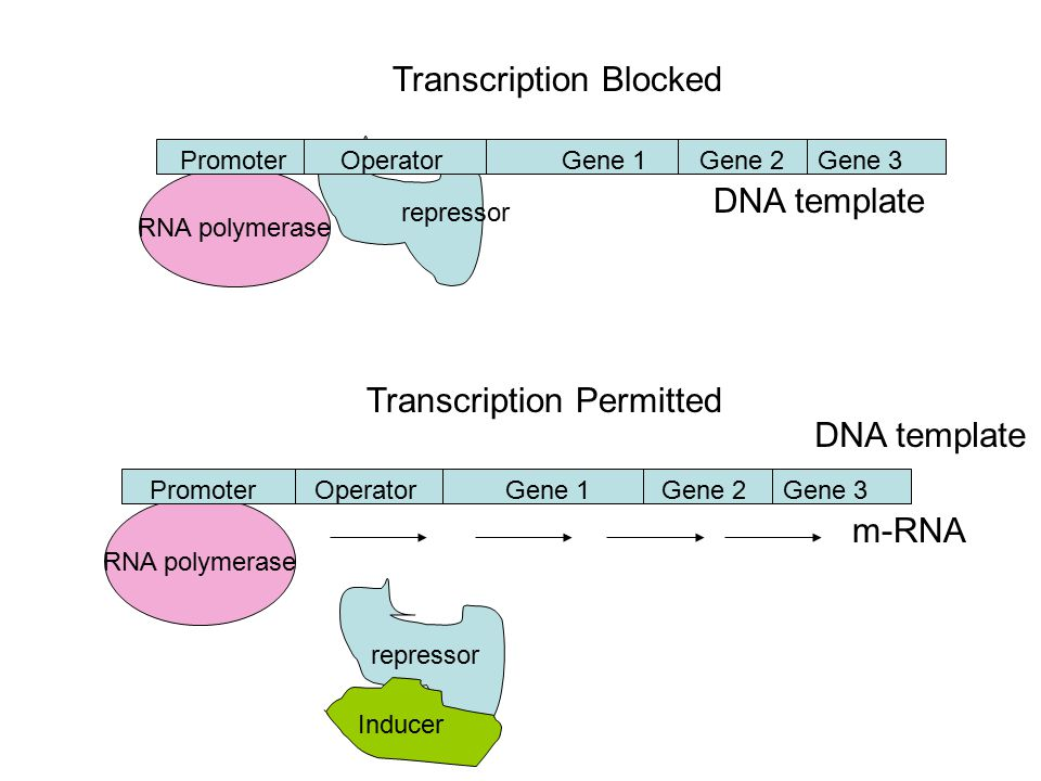 m-RNA RNA polymerase PromoterOperatorGene 1Gene 2Gene 3 Transcription Permitted RNA polymerase repressor PromoterOperatorGene 1Gene 2Gene 3 Transcription Blocked repressor Inducer DNA template