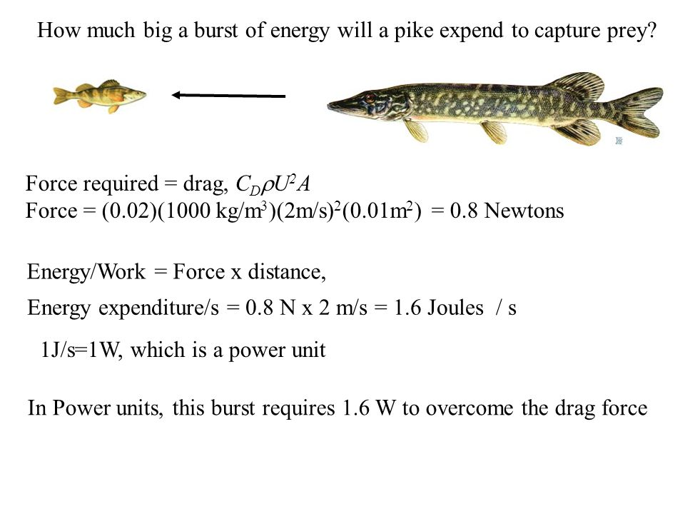 How much big a burst of energy will a pike expend to capture prey.