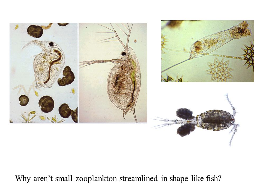 Why aren't small zooplankton streamlined in shape like fish