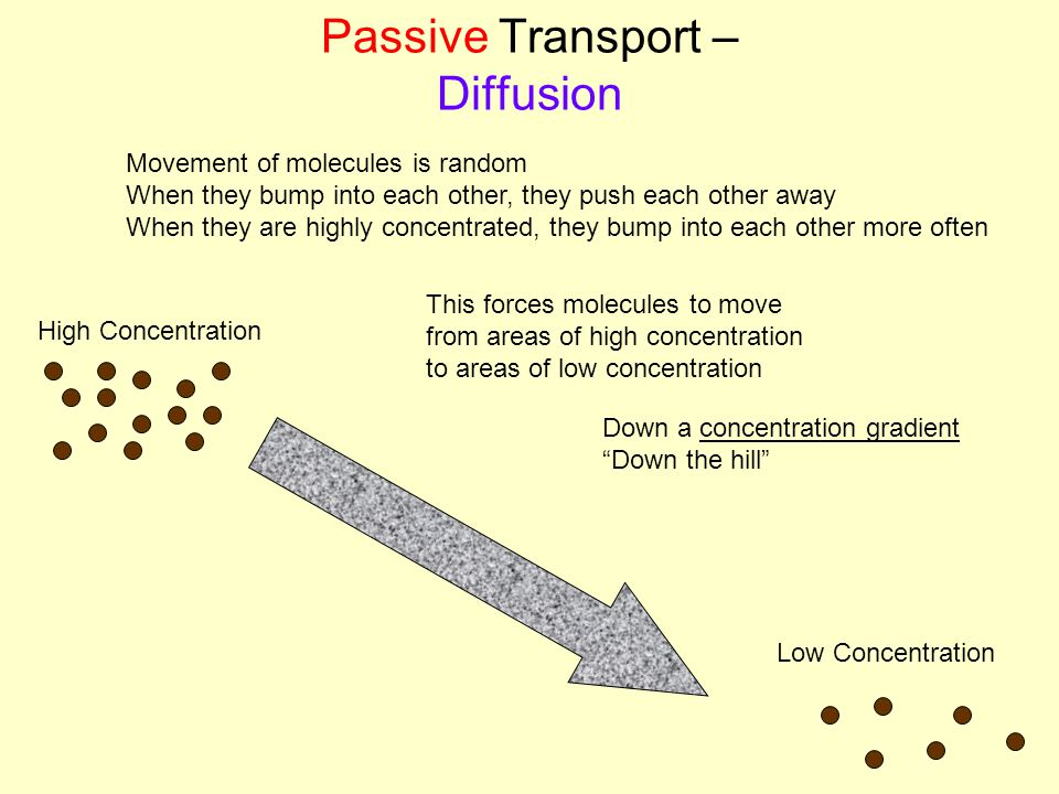 Passive Transport – Diffusion This forces molecules to move from areas of high concentration to areas of low concentration Down a concentration gradient Down the hill High Concentration Low Concentration Movement of molecules is random When they bump into each other, they push each other away When they are highly concentrated, they bump into each other more often