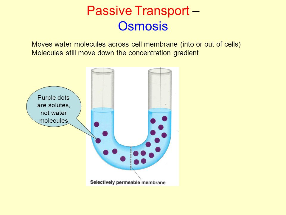 Passive Transport – Osmosis Moves water molecules across cell membrane (into or out of cells) Molecules still move down the concentration gradient Purple dots are solutes, not water molecules