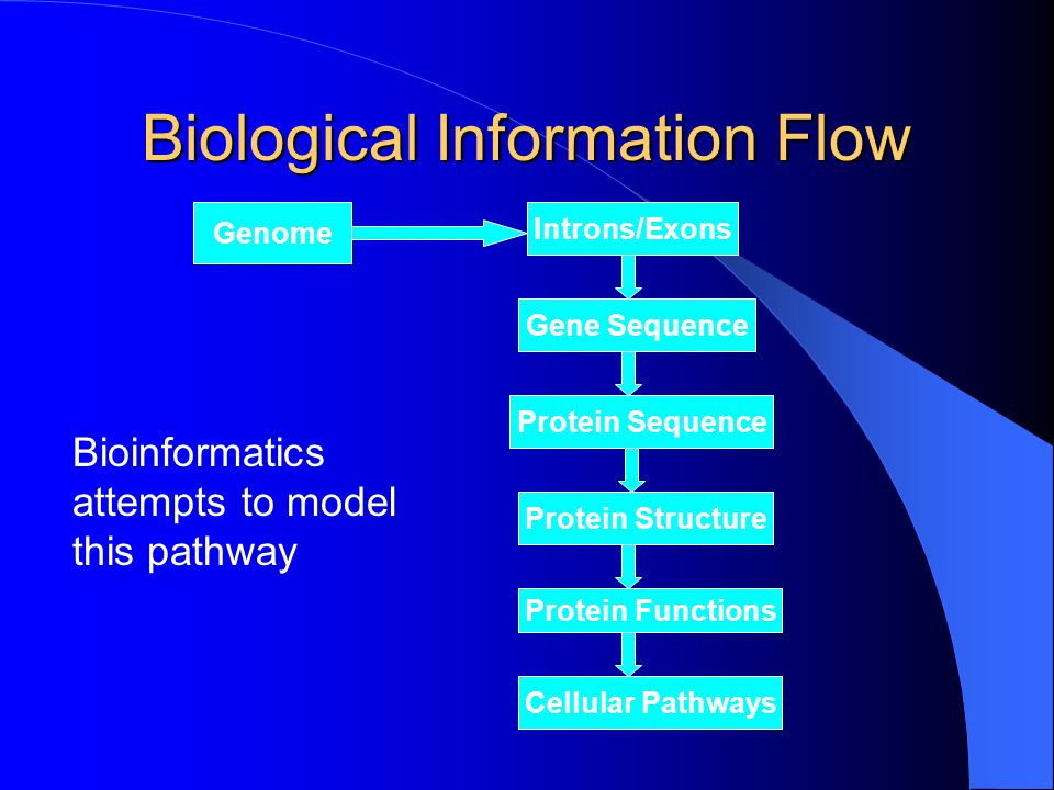 Biological Information Flow Genome Introns/Exons Gene Sequence Protein Sequence Protein Functions Protein Structure Cellular Pathways Bioinformatics attempts to model this pathway