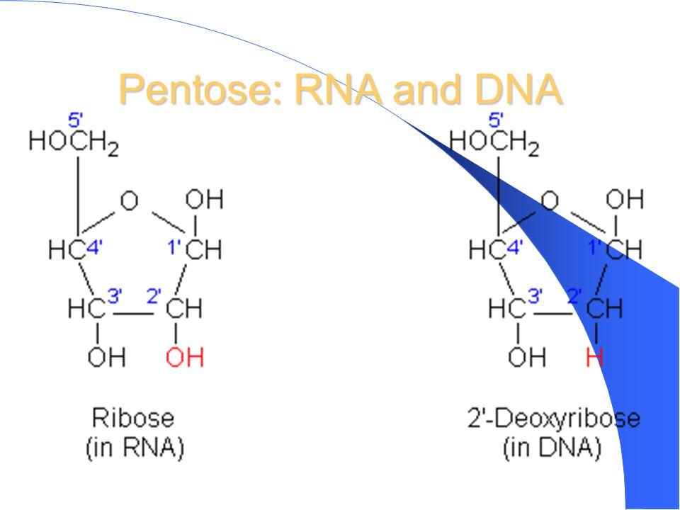 Pentose: RNA and DNA