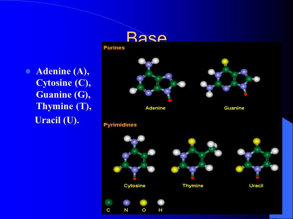 Base Adenine (A), Cytosine (C), Guanine (G), Thymine (T), Uracil (U).
