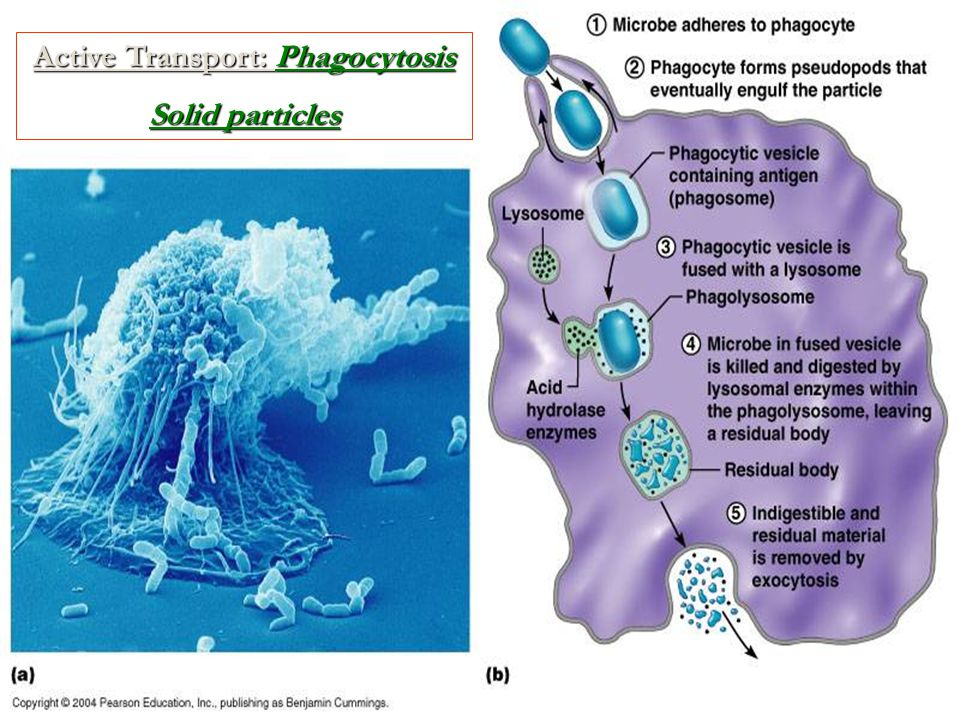 Active Transport: Pinocytosis Cells actively engulf large quantities of fluid (water) Vesicles/vacuoles