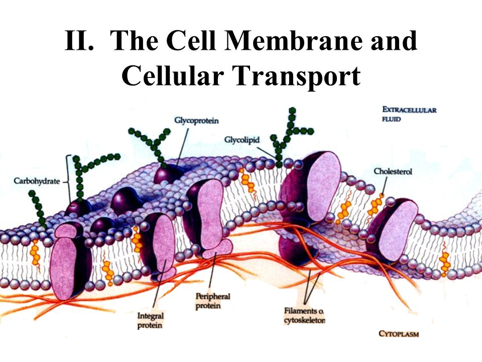 II. The Cell Membrane and Cellular Transport