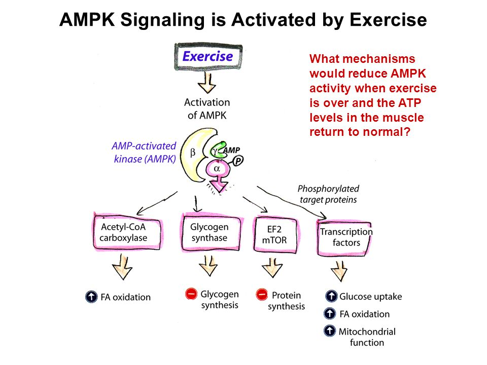 What mechanisms would reduce AMPK activity when exercise is over and the ATP levels in the muscle return to normal?