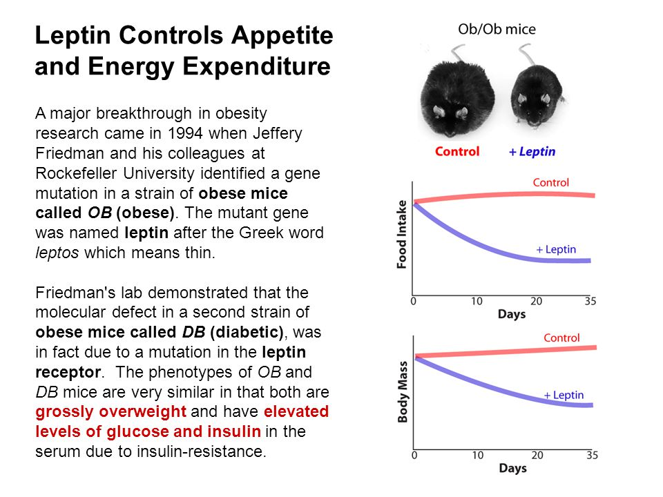 Leptin Controls Appetite and Energy Expenditure A major breakthrough in obesity research came in 1994 when Jeffery Friedman and his colleagues at Rockefeller University identified a gene mutation in a strain of obese mice called OB (obese).