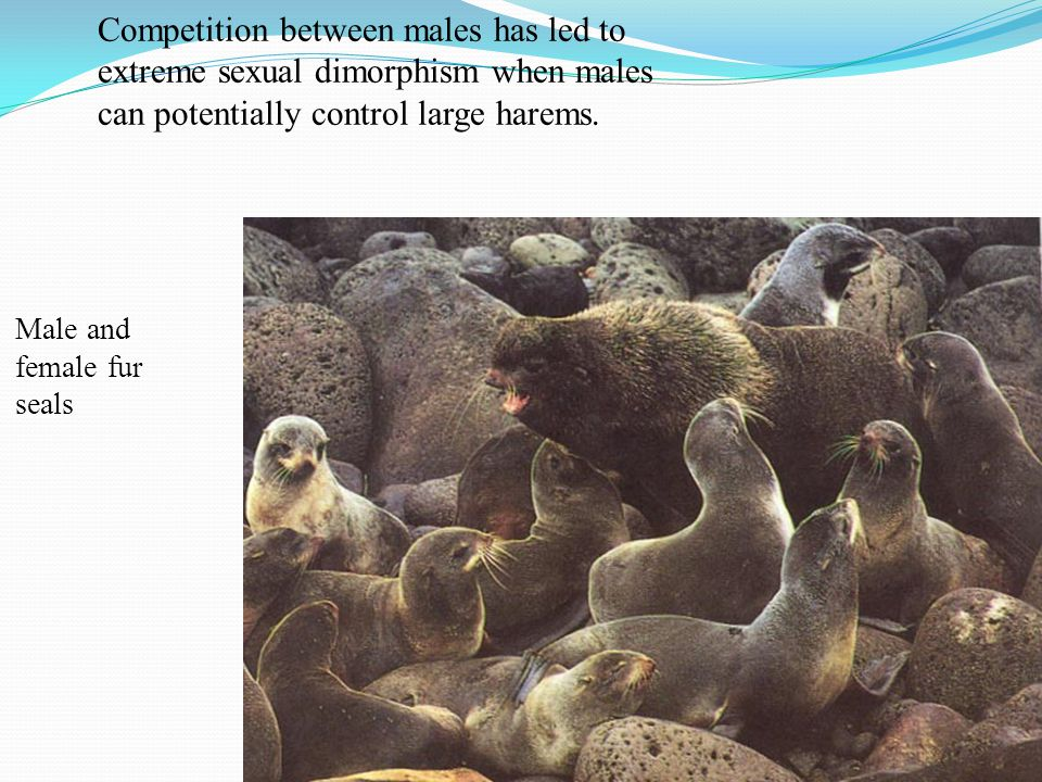 Competition between males has led to extreme sexual dimorphism when males can potentially control large harems.