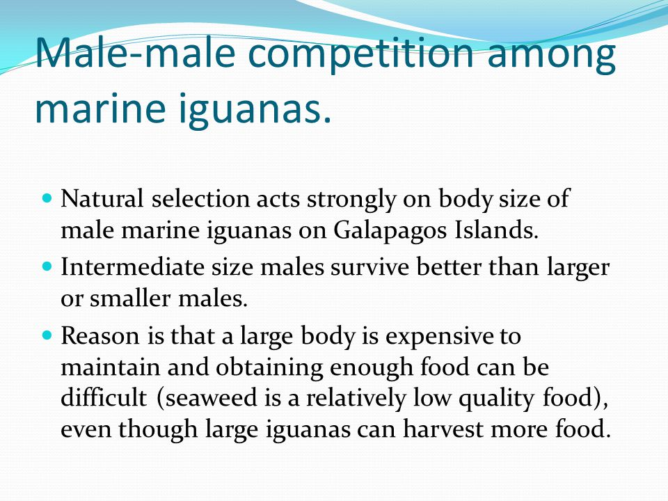 Male-male competition among marine iguanas. Natural selection acts strongly on body size of male marine iguanas on Galapagos Islands. Intermediate siz