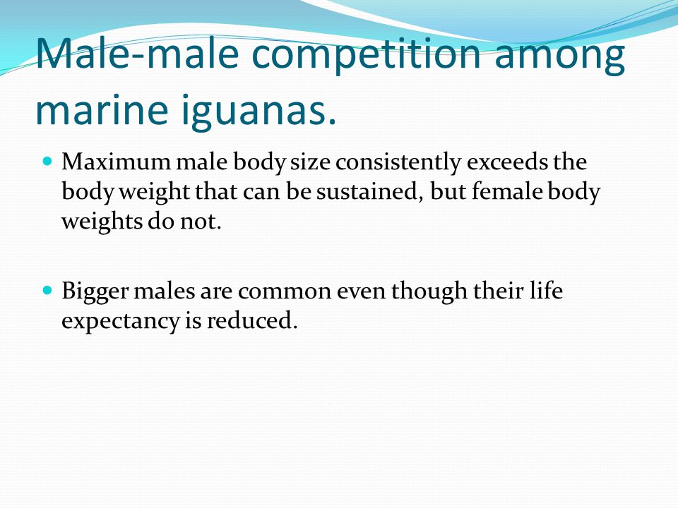 Male-male competition among marine iguanas. Maximum male body size consistently exceeds the body weight that can be sustained, but female body weights