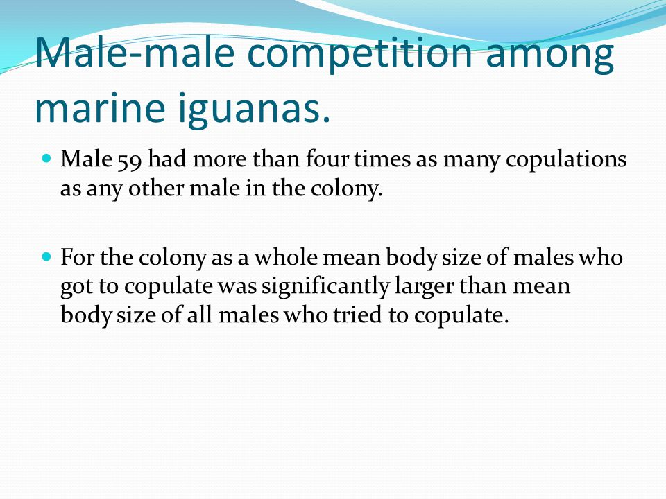 Male-male competition among marine iguanas. Male 59 had more than four times as many copulations as any other male in the colony. For the colony as a