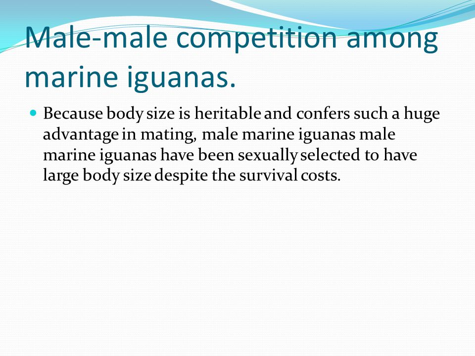 Male-male competition among marine iguanas. Because body size is heritable and confers such a huge advantage in mating, male marine iguanas male marin