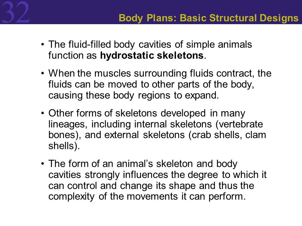 32 Body Plans: Basic Structural Designs The fluid-filled body cavities of simple animals function as hydrostatic skeletons. When the muscles surroundi