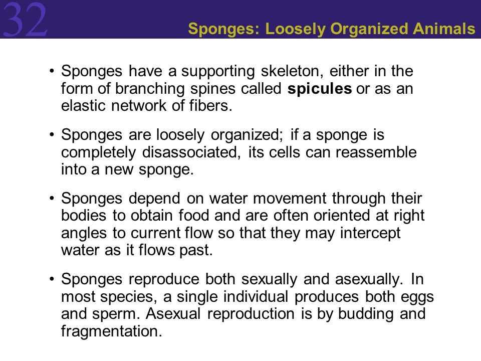 32 Sponges: Loosely Organized Animals Sponges have a supporting skeleton, either in the form of branching spines called spicules or as an elastic netw