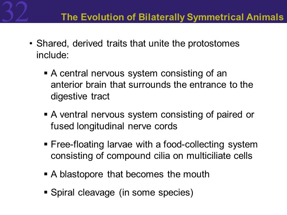 32 The Evolution of Bilaterally Symmetrical Animals Shared, derived traits that unite the protostomes include:  A central nervous system consisting o