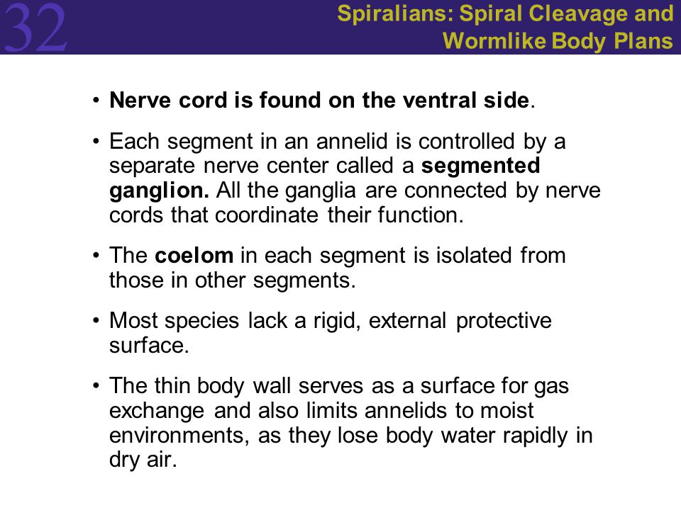 32 Spiralians: Spiral Cleavage and Wormlike Body Plans Nerve cord is found on the ventral side. Each segment in an annelid is controlled by a separate