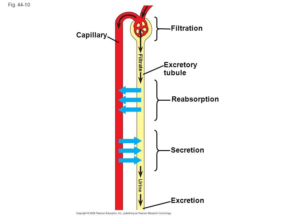 Fig. 44-10 Capillary Excretion Secretion Reabsorption Excretory tubule Filtration Filtrate Urine