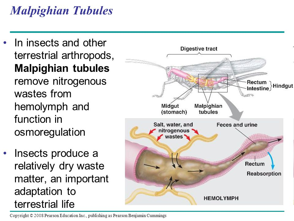 Copyright © 2008 Pearson Education Inc., publishing as Pearson Benjamin Cummings Malpighian Tubules In insects and other terrestrial arthropods, Malpighian tubules remove nitrogenous wastes from hemolymph and function in osmoregulation Insects produce a relatively dry waste matter, an important adaptation to terrestrial life