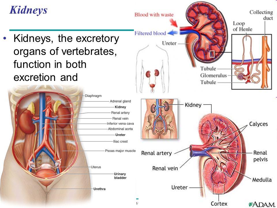 Copyright © 2008 Pearson Education Inc., publishing as Pearson Benjamin Cummings Kidneys Kidneys, the excretory organs of vertebrates, function in both excretion and osmoregulation