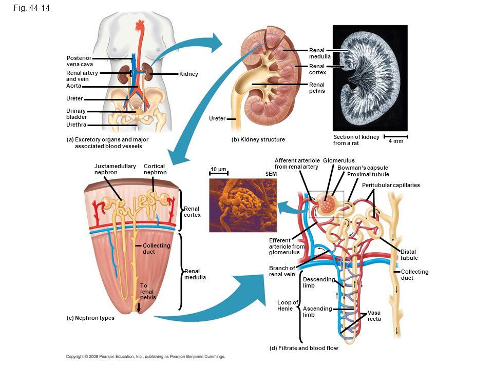 Fig. 44-14 Posterior vena cava Renal artery and vein Urinary bladder Ureter Aorta Urethra Kidney (a) Excretory organs and major associated blood vesse