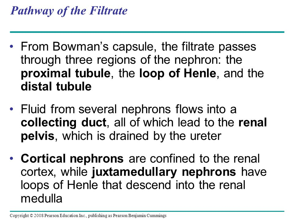 Copyright © 2008 Pearson Education Inc., publishing as Pearson Benjamin Cummings Pathway of the Filtrate From Bowman's capsule, the filtrate passes through three regions of the nephron: the proximal tubule, the loop of Henle, and the distal tubule Fluid from several nephrons flows into a collecting duct, all of which lead to the renal pelvis, which is drained by the ureter Cortical nephrons are confined to the renal cortex, while juxtamedullary nephrons have loops of Henle that descend into the renal medulla