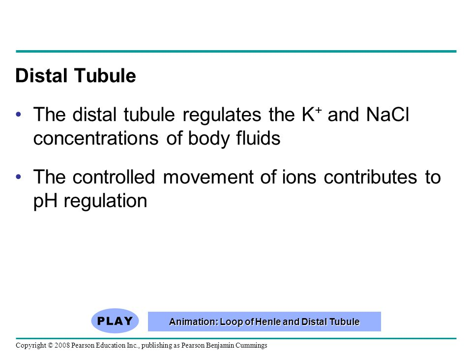 Copyright © 2008 Pearson Education Inc., publishing as Pearson Benjamin Cummings Distal Tubule The distal tubule regulates the K + and NaCl concentrations of body fluids The controlled movement of ions contributes to pH regulation Animation: Loop of Henle and Distal Tubule Animation: Loop of Henle and Distal Tubule