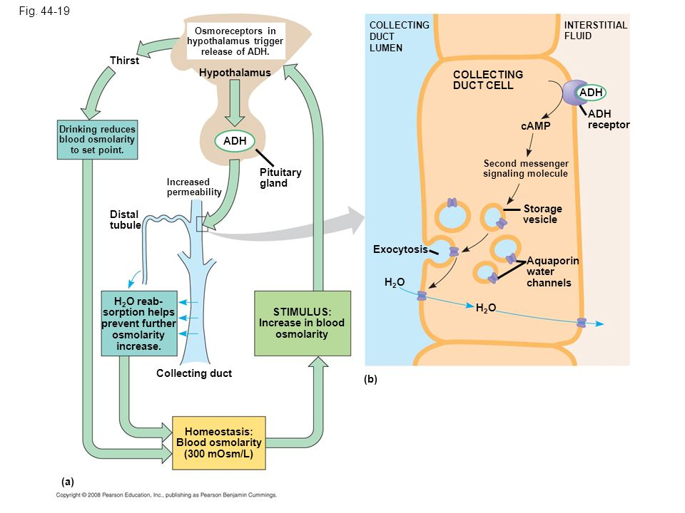 Fig. 44-19 Thirst Drinking reduces blood osmolarity to set point. Osmoreceptors in hypothalamus trigger release of ADH. Increased permeability Pituita