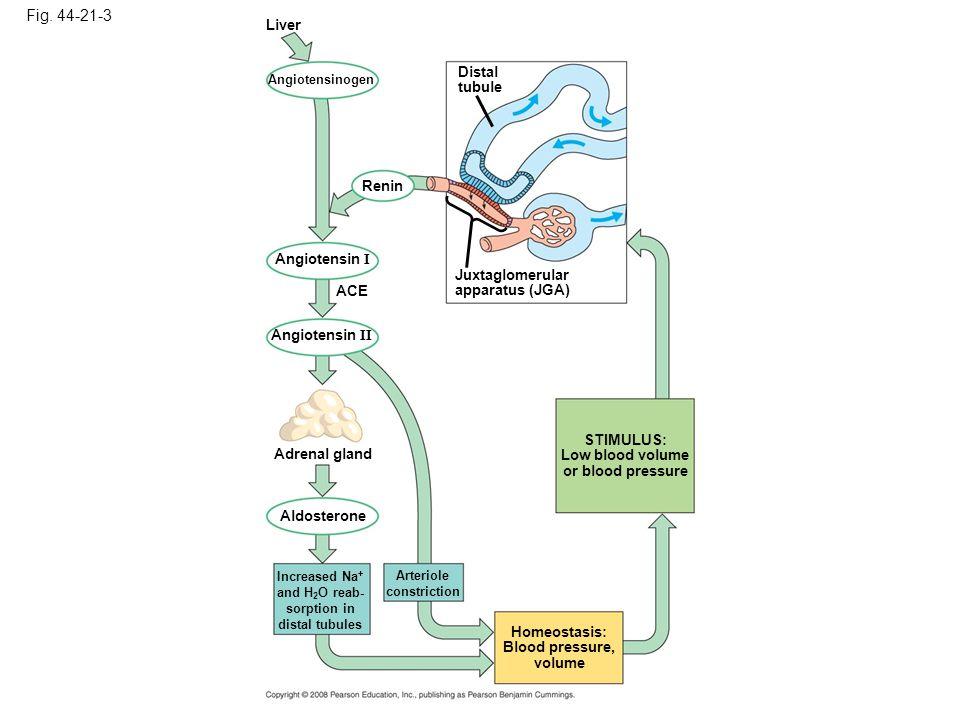 Fig. 44-21-3 Renin Distal tubule Juxtaglomerular apparatus (JGA) STIMULUS: Low blood volume or blood pressure Homeostasis: Blood pressure, volume Live