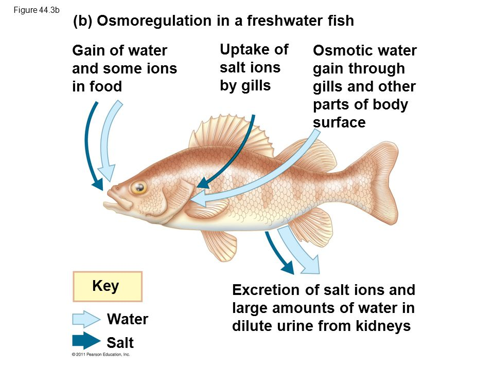 Figure 44.3b (b) Osmoregulation in a freshwater fish Gain of water and some ions in food Uptake of salt ions by gills Osmotic water gain through gills