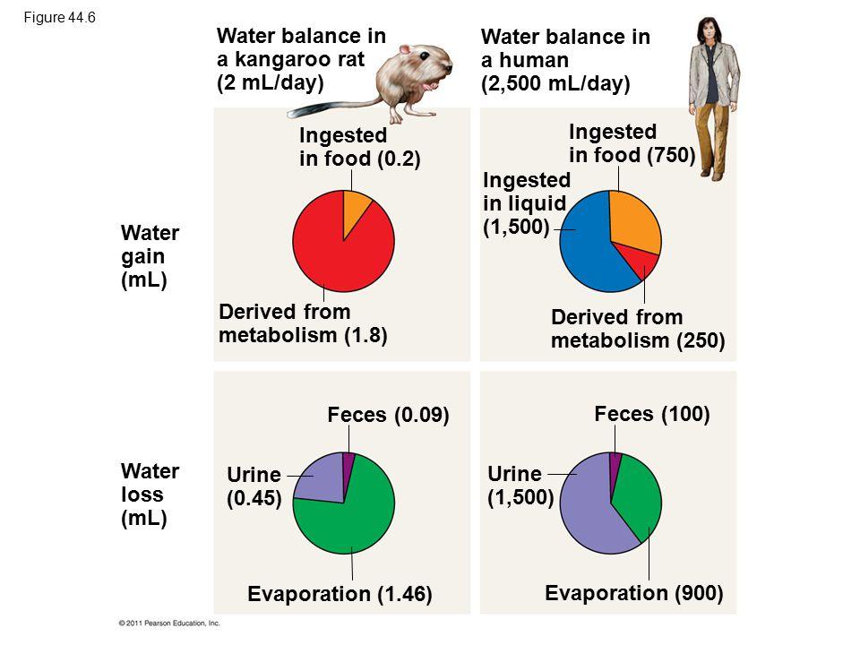 Water balance in a kangaroo rat (2 mL/day) Water balance in a human (2,500 mL/day) Ingested in food (0.2) Ingested in food (750) Ingested in liquid (1