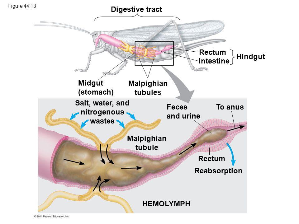 Digestive tract Midgut (stomach) Malpighian tubules Rectum Intestine Hindgut Salt, water, and nitrogenous wastes Feces and urine Malpighian tubule To