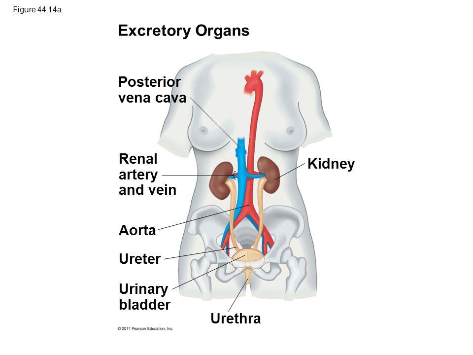 Figure 44.14a Excretory Organs Posterior vena cava Renal artery and vein Aorta Ureter Urinary bladder Urethra Kidney