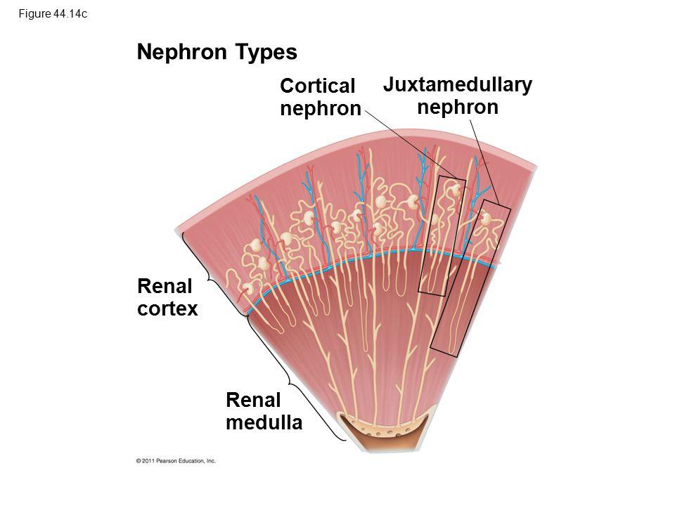 Figure 44.14c Nephron Types Cortical nephron Juxtamedullary nephron Renal cortex Renal medulla