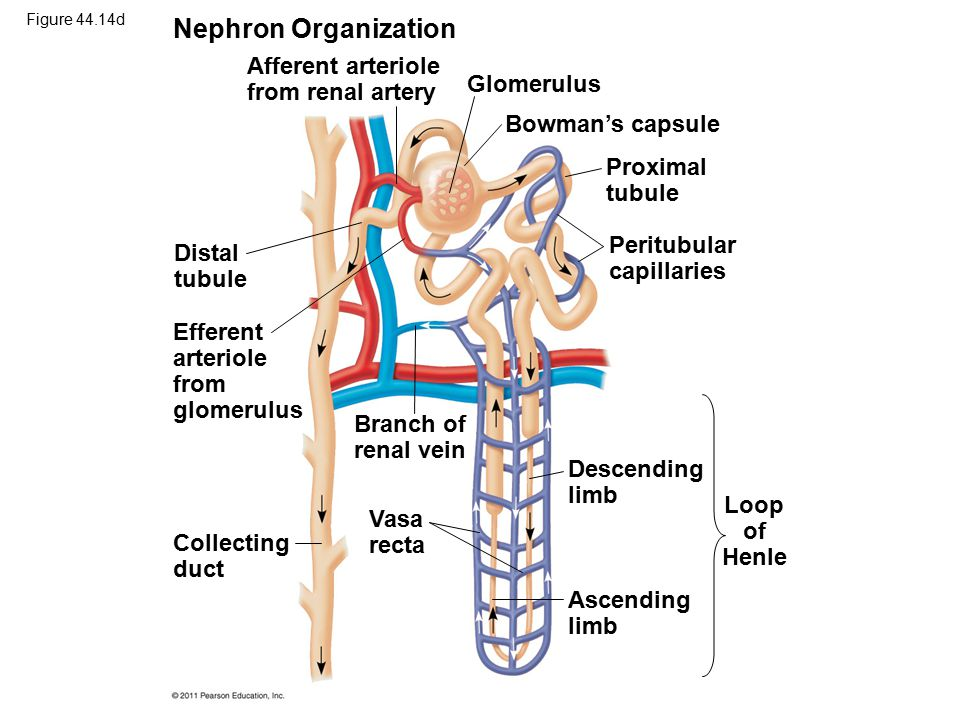 Figure 44.14d Nephron Organization Afferent arteriole from renal artery Glomerulus Bowman's capsule Proximal tubule Peritubular capillaries Distal tub