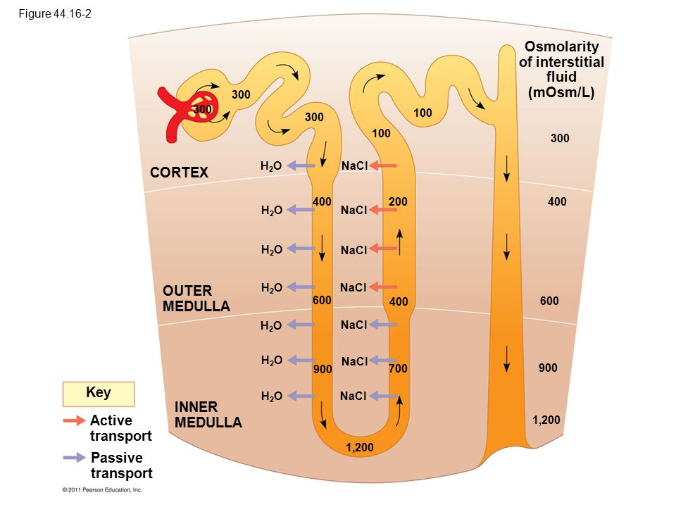 Osmolarity of interstitial fluid (mOsm/L) 1,200 900 600 400 300 Key Active transport Passive transport INNER MEDULLA OUTER MEDULLA CORTEX NaCl H2OH2O