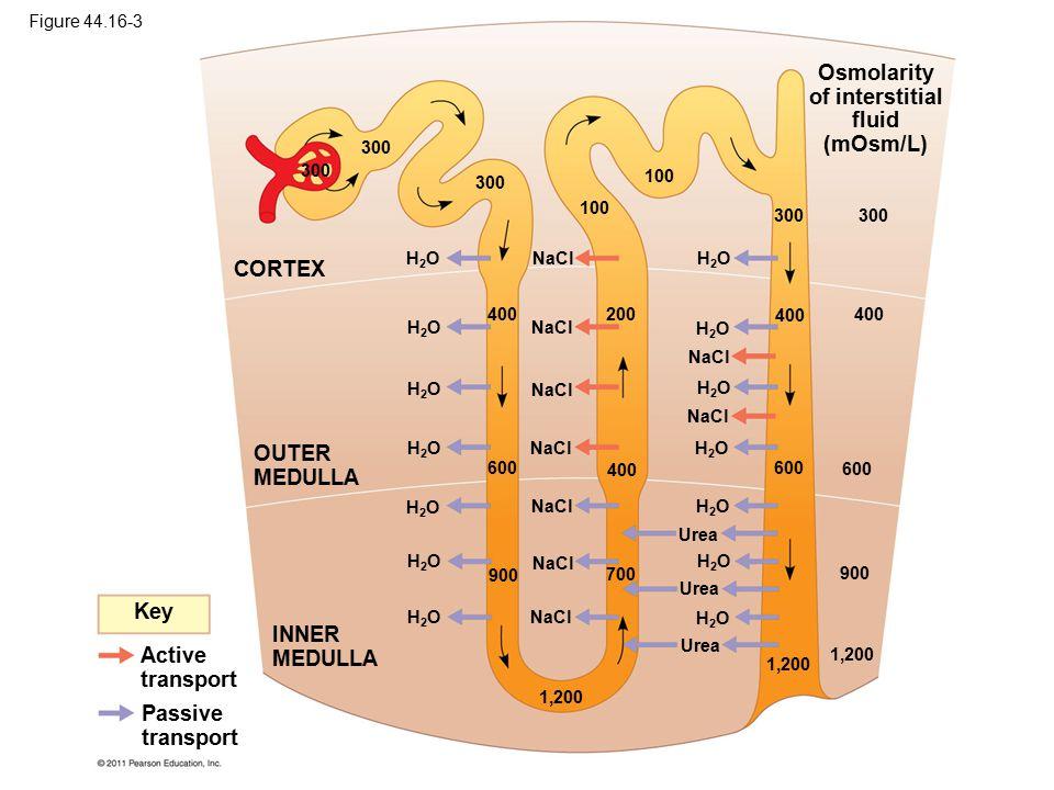 Osmolarity of interstitial fluid (mOsm/L) Key Active transport Passive transport INNER MEDULLA OUTER MEDULLA CORTEX NaCl H2OH2O H2OH2O H2OH2O H2OH2O H