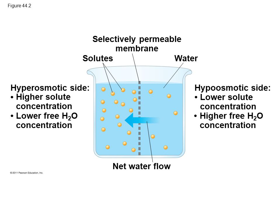 Figure 44.2 Selectively permeable membrane Solutes Water Net water flow Hyperosmotic side: Hypoosmotic side: Lower free H 2 O concentration Higher sol