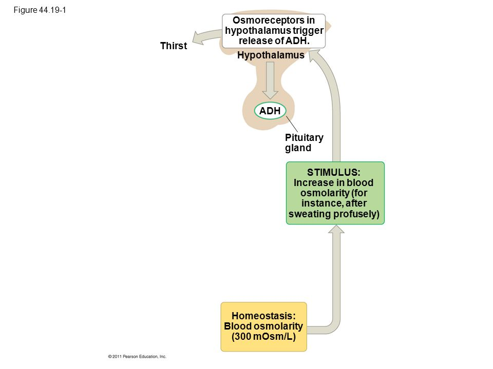 Figure 44.19-1 Thirst Hypothalamus ADH Pituitary gland Osmoreceptors in hypothalamus trigger release of ADH. STIMULUS: Increase in blood osmolarity (f