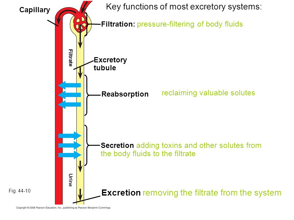 Fig. 44-10 Capillary Secretion adding toxins and other solutes from the body fluids to the filtrate Reabsorption Excretory tubule Filtration: pressure